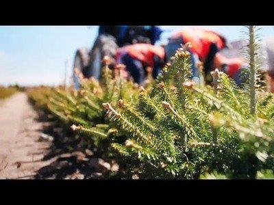 Así crecen los árboles de navidad que más tarde son vendidos en los comercios