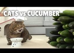Enlace a ¿Qué pasa cuando juntas pepinos y gatos?