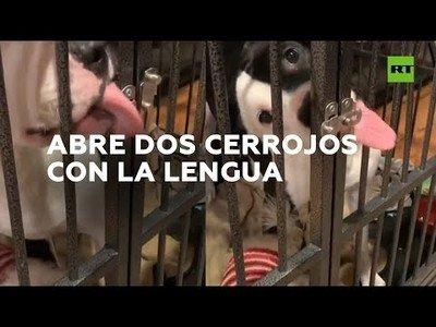 Un perro consigue escapar de su jaula con la única ayuda de su lengua