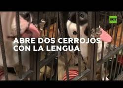 Enlace a Un perro consigue escapar de su jaula con la única ayuda de su lengua