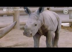 Enlace a Nace una cría de rinoceronte blanco, una subespecie en peligro de extinción, mediante inseminación artificial