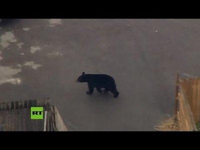 Un oso irrumpe en las calles de una ciudad estadounidense