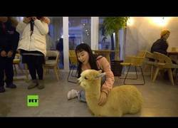 Enlace a Dos alpacas son el centro de todas las miradas en un restaurante en China