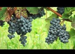 Enlace a Este es el proceso de elaboración del vino