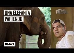 Enlace a Wild Frank presencia en vivo el nacimiento de un bebé elefante