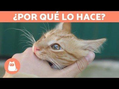 ¿Por qué los gatos suelen morder después de lamernos la mano?