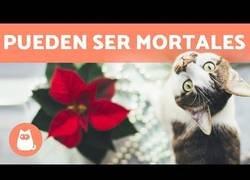 Enlace a Plantas navideñas que pueden ser tóxicas para nuestras mascotas
