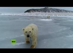 Enlace a Oseznos polares se divierten jugando sobre una fina capa de hielo