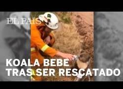 Enlace a Un bombero da de beber a un koala deshidratado
