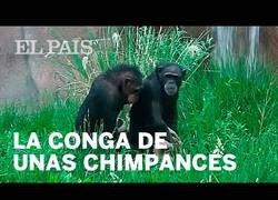 Enlace a La curiosa 'conga' sincronizada de dos chimpancés