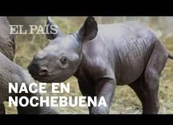 Enlace a Nace una cría de rinoceronte negro en Estados Unidos