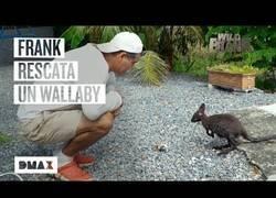Enlace a Wild Frank rescata y acoge a un wallaby