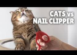 Enlace a La reacción de los gatos ante la presencia de un cortauñas