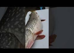 Enlace a Encuentran un pez vivo dentro de un pescado