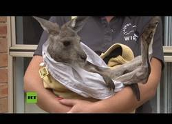 Enlace a Rescatan a crías de canguro de los incendios forestales de Australia