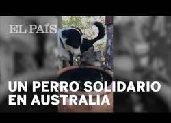 Enlace a Un perro comparte su agua con un Koala deshidratado por los incendios en Australia