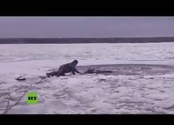 Enlace a Resactan a un alce que había caído en el helado río Volga