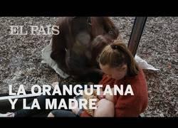 Enlace a Una orangutana que perdió a su cría empatiza con una madre y su bebé