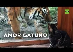 Enlace a Una tigresa siberiana y un gato se hacen amigos