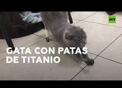 Enlace a La gata que volvió a caminar gracias a cuatro protesis