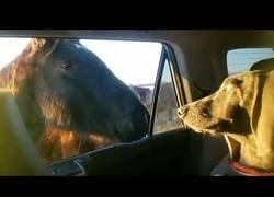 Enlace a Un caballo trata de entablar amistad con un perro