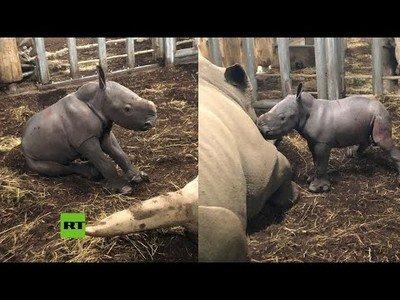 El nacimiento de un rinoceronte blanco en un zoo holandés