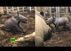 Enlace a El nacimiento de un rinoceronte blanco en un zoo holandés