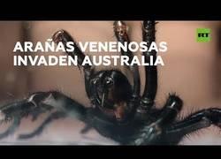 Enlace a Otra desgracia azota Australia: arañas venenosas