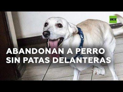 Un perro sin patas delanteras al que abandonaron encuentra nueva familia