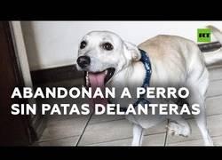 Enlace a Un perro sin patas delanteras al que abandonaron encuentra nueva familia