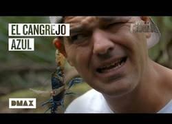Enlace a Wild Frank nos enseña un cangrejo azul australiano