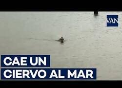 Enlace a Rescatan a un ciervo que había caído al mar en Girona