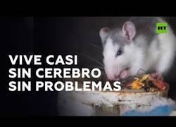 Enlace a El ratón que consigue hacer vida normal sin apenas cerebro