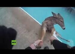 Enlace a Rescatan a un ciervo que había caído a una piscina a -8 ºC