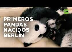 Enlace a Nacen en Berlín dos inseparables pandas gemelos