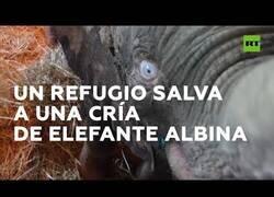 Enlace a Un refugio rescata a una cría de elefante albina
