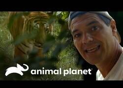 Enlace a Wild Frank cara a cara con un tigre de bengala