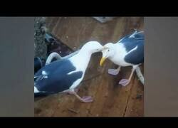 Enlace a Gaviota muerde la cabeza a otra para quitarle la comida