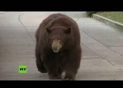 Enlace a Un oso pasea por un barrio residencial en California
