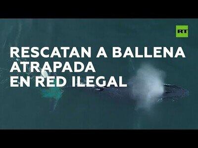 Rescatan a una ballena que había quedado atrapada en una red ilegal de pesca