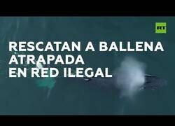Enlace a Rescatan a una ballena que había quedado atrapada en una red ilegal de pesca