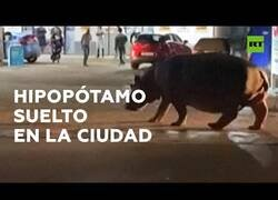 Enlace a Un hipopótamo campa a sus anchas por la ciudad