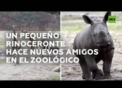 Enlace a Un pequeño rinoceronte hace amigos entre otros animales del zoológico