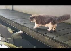 Enlace a Un gato interactúa con peces carpa