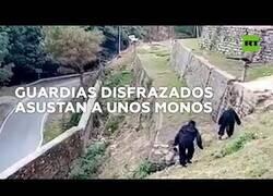 Enlace a Dos agentes ahuyentan a unos monos de un barrio disfrazados de gorila
