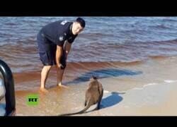 Enlace a Un policía australiano salva a un ualabí que había quedado atrapado en el mar