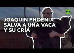 Enlace a Joaquin Phoenix rescata a una vaca y su cría de un matadero