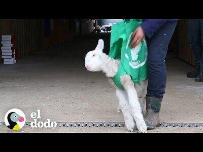 Así enseñan a caminar a una oveja bebé
