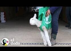Enlace a Así enseñan a caminar a una oveja bebé