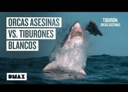 Enlace a Orcas asesinas van a la caza de tiburones de blancos
